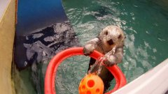 Sea otter plays basketball