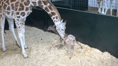 Baby giraffe first time standing