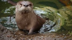 Molalla the baby river otter learns to swim