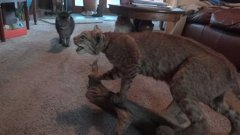 Four cats react to stuffed taxidermy bobcat