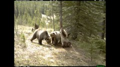 Bear back scratching party