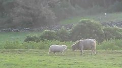 Sheep teaches young bull to head butt