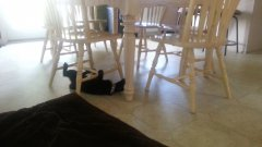 Crazy cat circles under kitchen chairs on its back