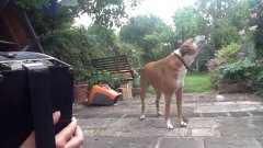 Jessie the dog sings along to accordion!
