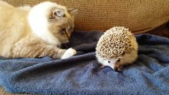 Cat sits on hedgehog