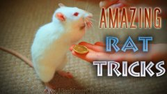 Amazing rat tricks