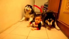 Two huskies imitate crawling baby