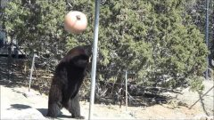 Bear plays tetherball