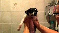 Cute Puppy Dog Swimming In The Air After Bath