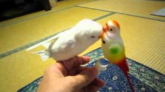 Parrot Plays With Toy Parrot