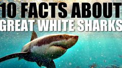10 Facts About Great White Sharks