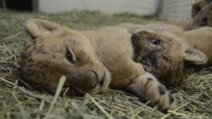 5-week-old lion cubs