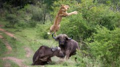 Buffalo Launches Lion Into The Air