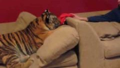 Tiger Cuddles On The Couch With Zoo Worker