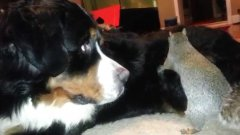 Squirrel Tries To Hide Nut In The Fur Of Bernese Mountain Dog