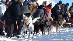 Dog Jumps Up And Down In Excitement To Start Sled Race