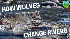 How Wolves Can Change Rivers For The Better
