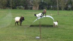 Goats Playing On A Metal Ribbon