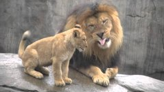 Lion cubs meet dad for first time