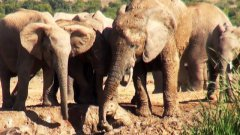 Mother Elephant Rescues Her Calf Stuck In The Mud