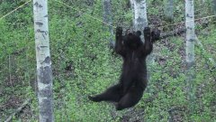 Bear Climbs Across Rope To Get Food
