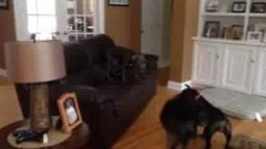Excited Dog Jumps On The Furniture