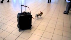 Tiny Yorkie Dog Pulls Carry-On Suitcase Through Airport