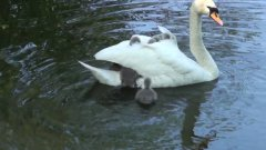 Baby swan's hitching a ride off mum