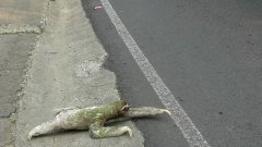 Sloth Crosses The Road