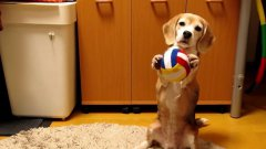 Dog Learns To Catch With Paws