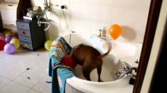Dog Pops Balloons For His Birthday