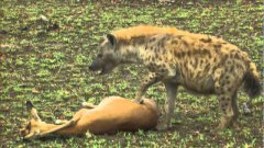 Gazelle's LUCKY ESCAPE from CHEETAH and HYENA by PLAYING DEAD!