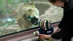 Lioness Tries To Eat Baby Through Glass Wall