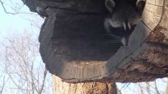 Reluctant raccoon delicately takes treat from passer-by