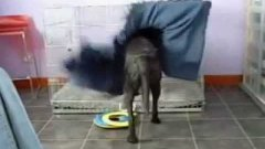 Dog Tucks Himself In