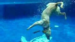 Dog Dives In Pool And Picks Up Two Fisbees At Once