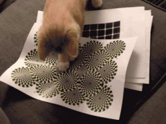 The cat sees the rotating snake illusion