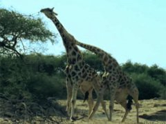 How Giraffes Fight