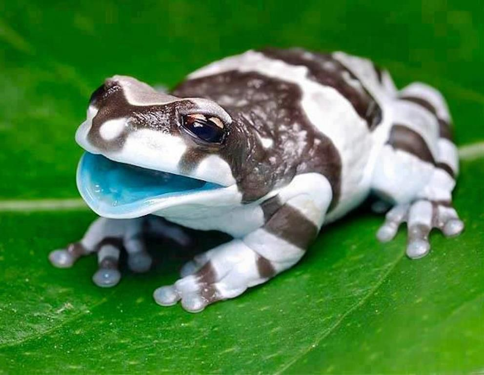r/aww, meet the amazon milk frog.