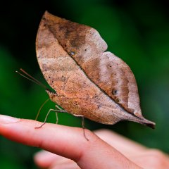 Leaf-butterfly on the hand