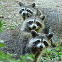 The Three Raccoon On A Hot Afternoon