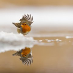 Dancing Robin in the snow