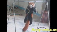 Red panda playing lift ups