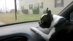 Dog Freaks Out At Moving Windshield Wipers