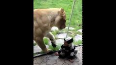 Lion tries to eat baby