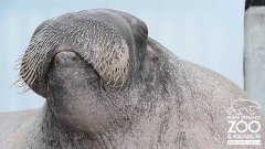 Walrus practices his vocalizations