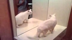 Crazy cat fights with its own mirror reflection
