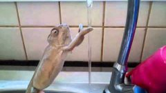 Chameleon washing his hands