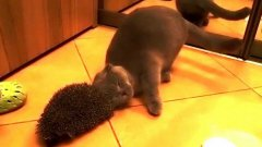 Cat uses hedgehog as brush