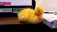 Baby duck falling asleep